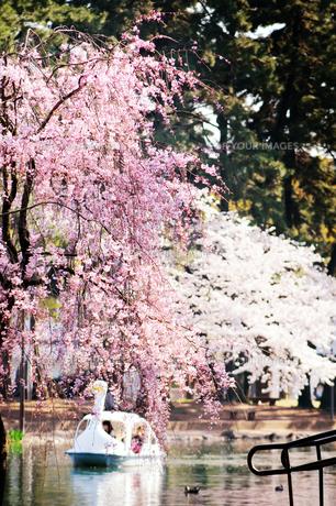桜とスワンボートの素材 [FYI00126249]