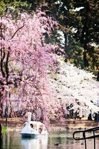 桜とスワンボートの写真素材 [FYI00126249]