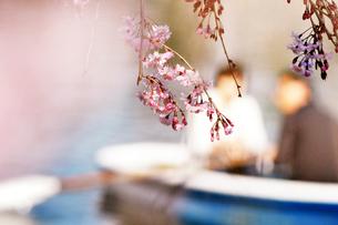 しだれ桜越しのボートの写真素材 [FYI00126255]