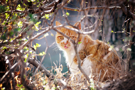 舌を出す茶トラ猫の写真素材 [FYI00126263]