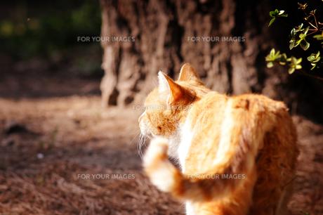 公園の茶トラ猫の素材 [FYI00126264]