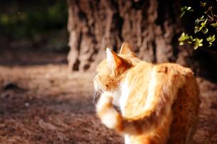 公園の茶トラ猫の写真素材 [FYI00126264]