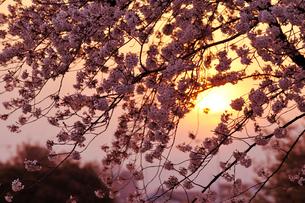 夕焼けとさくらの写真素材 [FYI00126270]
