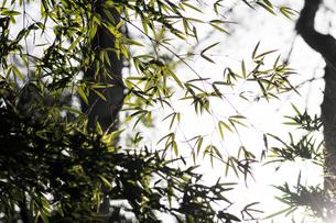 竹の葉に日ざしの写真素材 [FYI00126274]