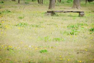 タンポポの草原とベンチの写真素材 [FYI00126335]