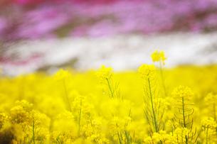 菜の花とシバザクラの写真素材 [FYI00126345]