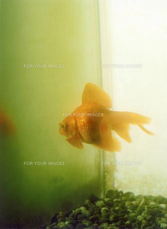 金魚の写真素材 [FYI00126358]