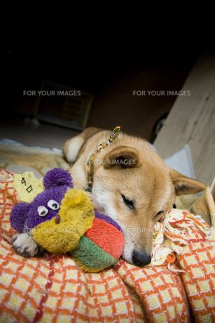 柴犬の写真素材 [FYI00126394]