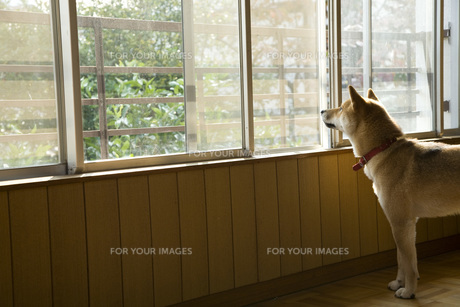 柴犬の写真素材 [FYI00126399]