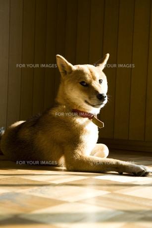 柴犬の写真素材 [FYI00126413]