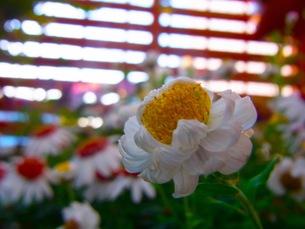 白い花の写真素材 [FYI00126417]