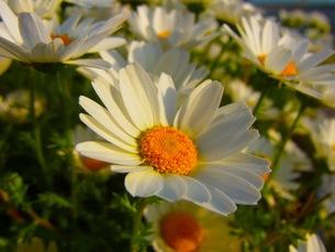 マーガレットの花畑の写真素材 [FYI00126421]