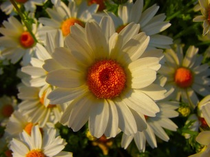 マーガレットの花畑の写真素材 [FYI00126423]