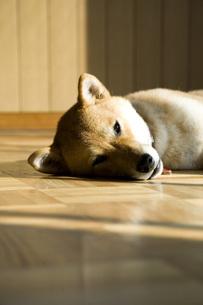 柴犬の写真素材 [FYI00126441]