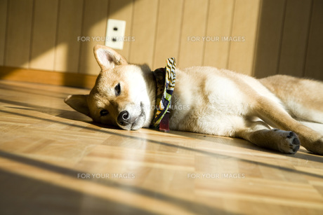 柴犬の写真素材 [FYI00126446]