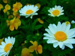 白い花畑の写真素材 [FYI00126453]