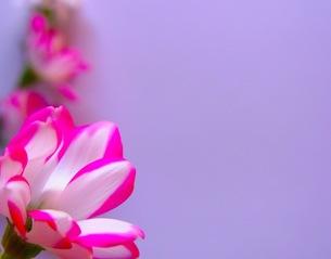 紅白の花の写真素材 [FYI00126463]