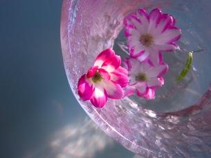 水に浮かぶ花の素材 [FYI00126464]