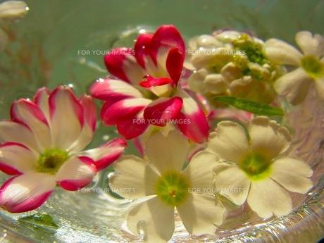 水に浮かぶ花の素材 [FYI00126471]
