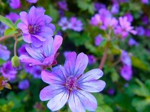 紫のプリムラ・シネンシスの花の写真素材 [FYI00126473]