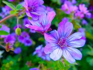紫のプリムラ・シネンシスの花の写真素材 [FYI00126474]