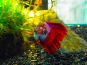 熱帯魚の写真素材 [FYI00126477]