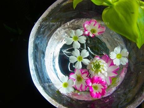 水に浮かぶ花の素材 [FYI00126478]