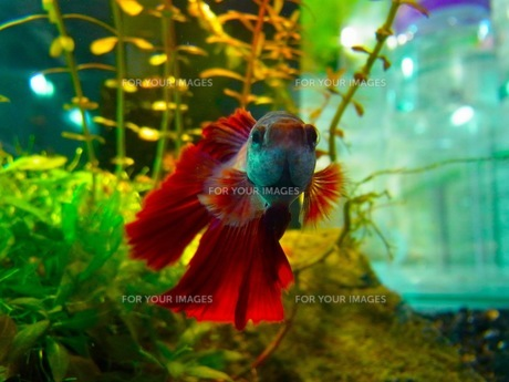 熱帯魚の素材 [FYI00126487]