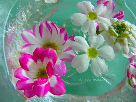 水に浮かぶ花の素材 [FYI00126489]