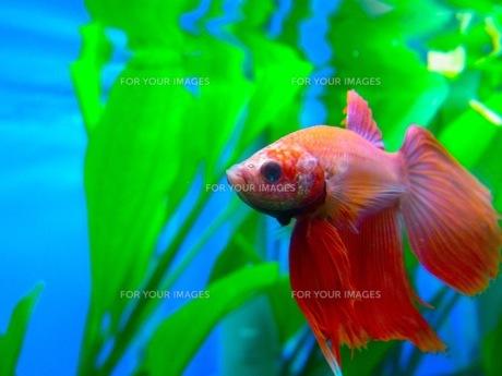 熱帯魚の素材 [FYI00126492]