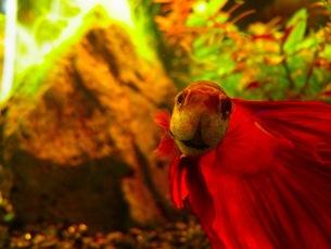 熱帯魚の素材 [FYI00126497]