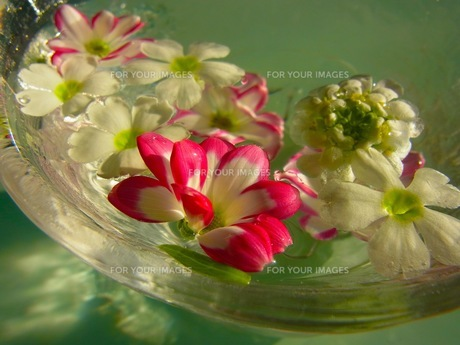 水に浮かぶ花の素材 [FYI00126498]