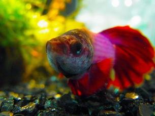 熱帯魚の写真素材 [FYI00126500]