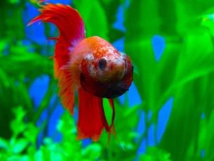熱帯魚、威嚇している闘魚の写真素材 [FYI00126504]