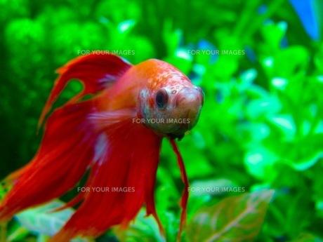 熱帯魚の素材 [FYI00126505]