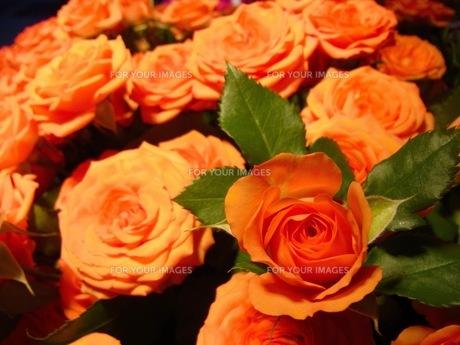 オレンジ色の薔薇の写真素材 [FYI00126509]
