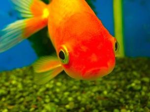 金魚の写真素材 [FYI00126516]