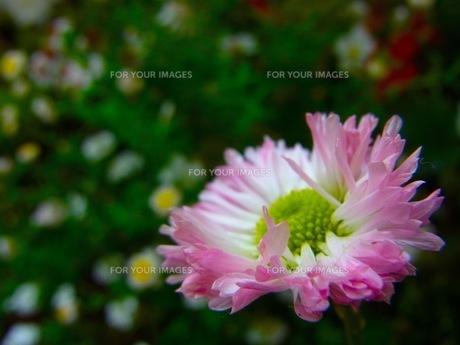 ピンクの花の素材 [FYI00126544]