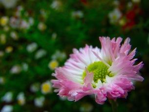 ピンクの花の写真素材 [FYI00126544]