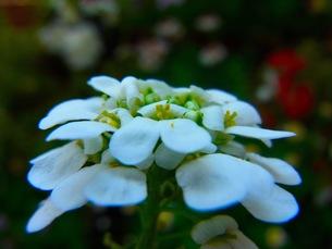 白いイベリスの花の写真素材 [FYI00126553]