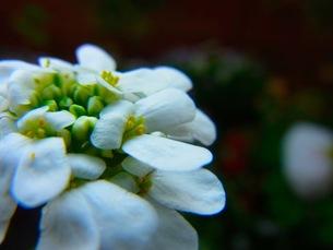 白いイベリスの花の写真素材 [FYI00126554]