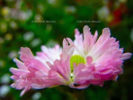 ピンクの花の素材 [FYI00126562]