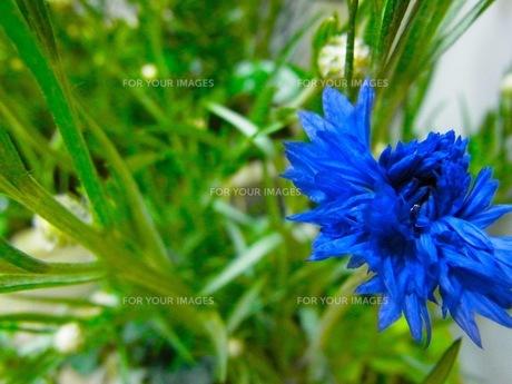 青い花の写真素材 [FYI00126579]