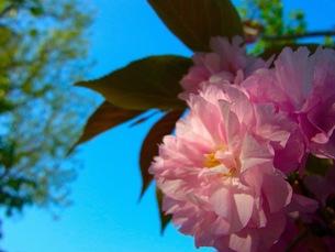 八重桜の素材 [FYI00126604]