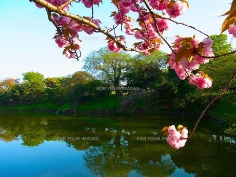 八重桜の素材 [FYI00126607]