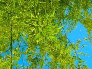 柳の木の写真素材 [FYI00126612]