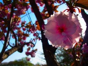 八重桜の素材 [FYI00126617]