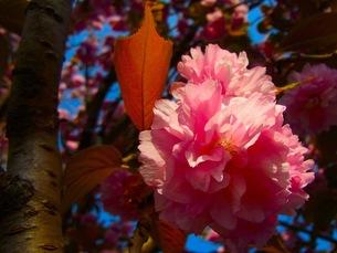 八重桜の素材 [FYI00126618]