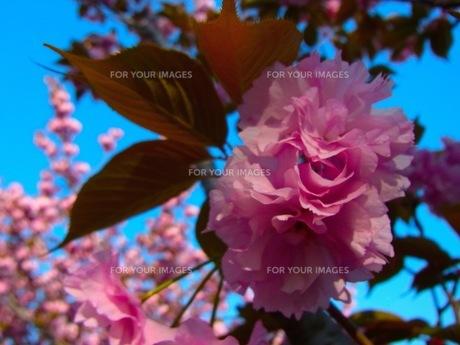 八重桜の素材 [FYI00126622]