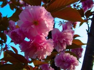 八重桜の写真素材 [FYI00126623]